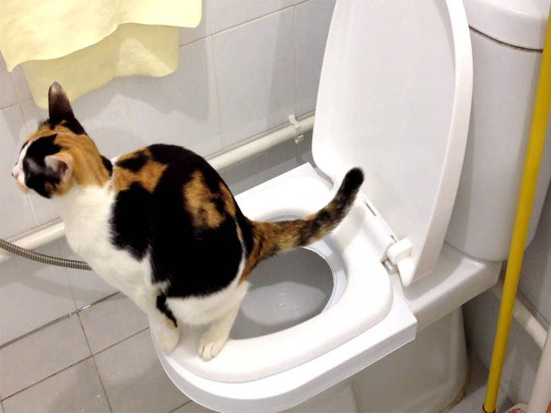 Reason to NOT toilet train your cat